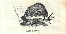 Stampa antica GATTO SELVATICO CAT Cosmorama 1839 Old antique print