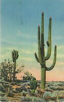 Old Chrome Postcard AZ H035 Giant Sahuaro Cactus Saguaro Sonoran Desert Curteich