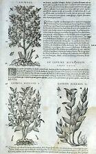Botánica Daphne callilepis Laurel Rusc Matthioli Mattioli Matthiole Dioscorides