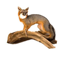 Standing Grey Fox Professional Taxidermy Mounted Animal Statue Gift