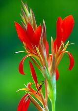 *UNCLE CHAN* 30 SEED RED CANNA INDICA LILY INDIAN SHOT CANNA FLOWER BRILLIANT