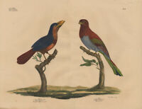 Antique Print-POGONIAS-CROWNED-TROGON-Goldfuss-1824