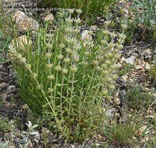 Sideritis laxespicata (20 graines)