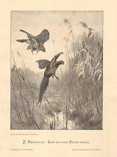 Hawk, Attacking Pheasant, Birds, Nature, Vintage 1899 German Antique Art Print
