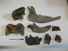 Fossil Bison Bones Teeth Extinct Ice Age Buffalo Skull Ia {hjaa4}