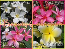 Rare & Exotic *Beauty* Collection 4 Plumeria Frangipani Hawaiian Lei Cuttings