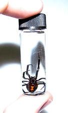 AZ BLACK WIDOW FEMALE LATRODECTUS REAL PRESERVED SPIDER WET SPECIMEN 2in VIAL