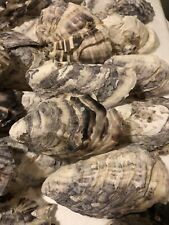 10 Large treated/bleached Australian Craft Oyster Shells 9.5-11cm Long