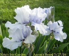 """2 """"Aaron'S Dream"""" Ruffled Beauty Tall Bearded Iris Rhizome"""