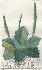 Décoration Botanique Fleur Plantain Gravure Pierre Jean François Turpin