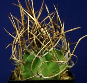 ASTROPHYTUM CAPRICORNE NIVEUM NUDUM = cacti 仙人掌 กระบองเพชร kakteen #5297+