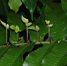 100x Diplazium Proliferum Helecho Jardín Plantas - Semillas B1292