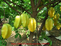 50 PCS Seeds Bonsai Star Fruit Tree Shrub AVERRHOA Carambola Starfruit Edible S