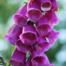 Flower - Suffolk Herbs - Foxglove - Digitalis purpurea - Pictorial Packet