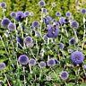 Globe Thistle- (EchinopsRitro)- Blue- 25 Seeds- BOGO 50% off SALE