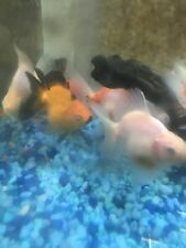 Broadtail Ryukin Goldfish Large Thiccc Ones 3-4 Inch FEDEX EXPRESS SHIPPING
