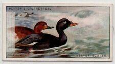 Velvet Scoter Sea Duck Melanitta fusca Water Fowl  c90  Y/O Ad Trade Card
