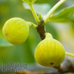 Yellow Long Neck Common Edible Fig - Ficus carica LIVE PLANT Fruit Tree