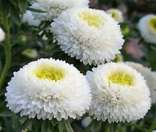 Aster White Bouquet Seeds 0,5g annual flower ��тра Белый букет S0297