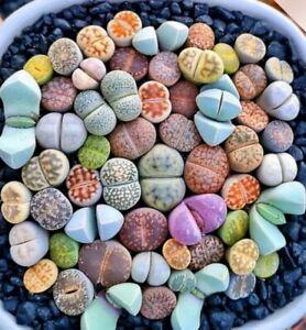 100Pcs Mixed Lithops Seeds Living Stones Succulent Plant Bonsai Garden Decor