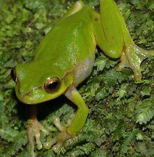 New listing 2 Live Green Tree Frog frogs aquarium terrarium pet