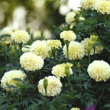 F1 FRENCH MARIGOLD FRENCH VANILLA - 6 seeds - Tagetes Erecta nana FLOWER