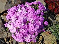 3 x Phlox douglasii 'Eva' Jumbo Plug Plants Scented Hardy Perennial