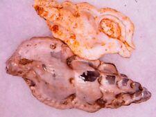fossil shell - MUREX - 2 ASPELLA SUBANCEPS AQUITANIEN