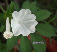 Tiger-Foot Morning Glory - Ipomoea pes-tigridis - RARE - 8 seeds