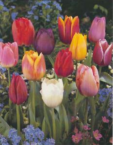Nr. 867- Triumph Tulpen -Mischung-, Gr.8/10, -Großpackung- 50 Blumenzwiebeln