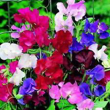 15 Sweet Pea Spencer Giant  Mix Seedlings - Not Plug Plants - Lathyrus odoratus