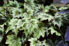 Begonia josephii - 1 plant