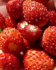 aromatische Früchte•Wald-Erdbeere•1000 Samen/seeds • Fragaria vesca•winterhart