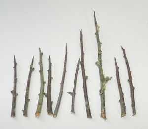 13 Blackthorn thorns for spells protection magic witchcraft Wicca