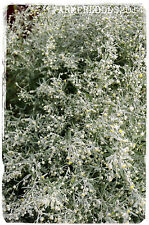 Artemisia absinthium 'Wormwood' 2000+ SEEDS