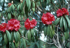 10 GRAINES DE  BURAN, GURAN (Rhododendron arboreum) TREE LIKE RHODODENDRON SEEDS