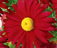 PYRETHRUM RED Chrysanthemum Coccineum - 500 Bulk Seeds