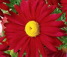 PYRETHRUM RED Chrysanthemum Coccineum - 500 Bulk Seeds