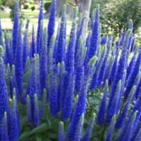 400pcs/pack Multi-color Speedwell Flower Seeds Perennial Ground Easy New. X9S0