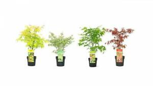 Japanischer Fächerahorn (4er Set) Jungpflanzen Bonsai.