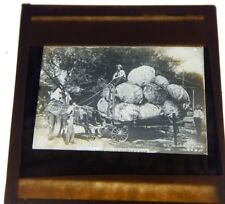 1908 Photo Cart with Giant Cabbages  Antique Glass slide Magic lantern