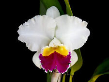 "Bin) Rlc Chyongmil Cattleya Orchid Plant 2 1/2"" Pot"