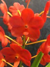 Flowering size Mericlone Vanda Orchid .... V. Banghuntien Gold x Asc Miniatum