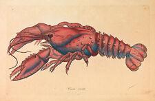 SERRATED Lobster, Cancer serratus James Sowerby aragosta gusci animale B a3 02400