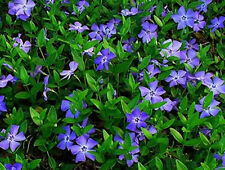 5 bewurzelte Ableger Immergrün - vinca major - Blüte blau - Bodendecker Pflanzen