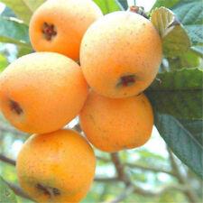 Japanese Plum LOQUAT Seeds Loquat Fruit Tree Seeds Succulent Sweet 5 Seeds