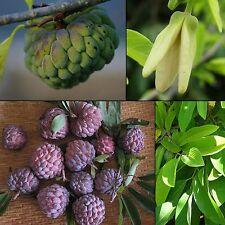 15 Samen Zimtapfel - Rahmapfel - Zucker-Apfel - essbare Früchte -Annona squamosa