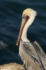 "GORGEOUS PHOTOGRAPH OF A BROWN PELICAN MATTED 11""X14"""