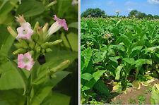 500+ SEMI NICOTIANA TABACUM KENTUCKY 2019 tabacco seeds samen semillas graines