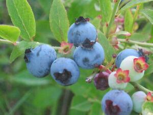 3 LOW BUSH, WILD Blueberry LIVE PLANT ~Edible fruit ~Jams,Jellies, Berry Pies
